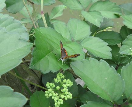 公園の蝶 030