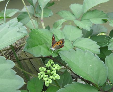 公園の蝶 029