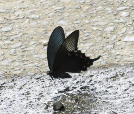 ミヤマウズラと黒い蝶 142