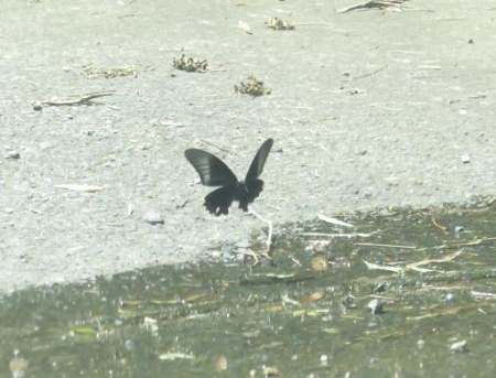 ミヤマウズラと黒い蝶 131