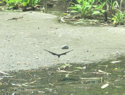 ミヤマウズラと黒い蝶 132