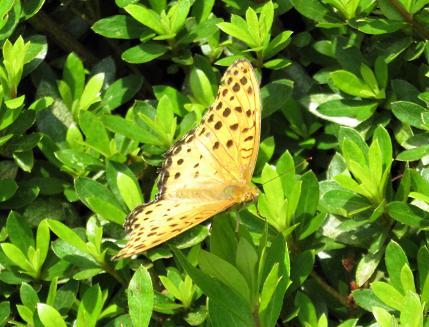 ミヤマウズラと黒い蝶 069