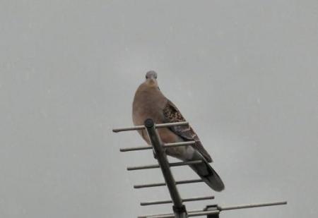 鳩が来た 008