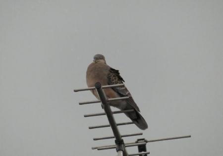 鳩が来た 004