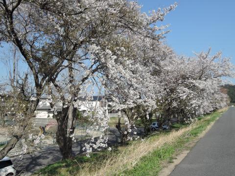 夏井川の桜