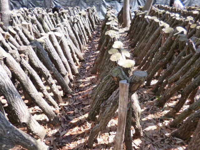 2014年3月21日たくさんの椎茸の原木