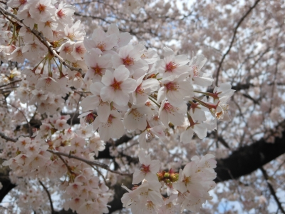 N_桜AO公園