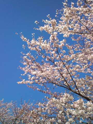 2014,3,31の桜