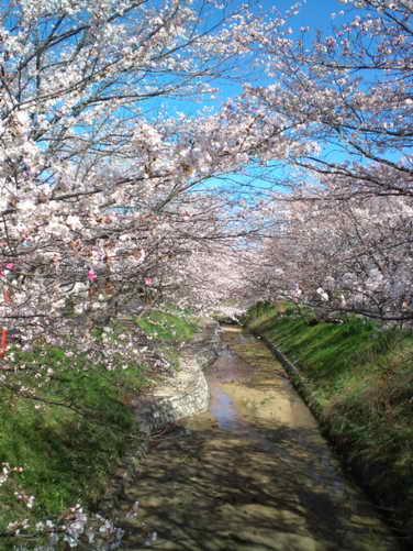 2014,3,31の桜その2
