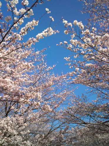 2014,3,31の桜その3