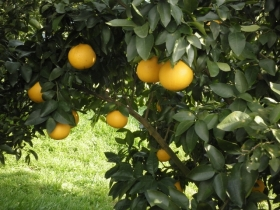 グレープフルーツの木2