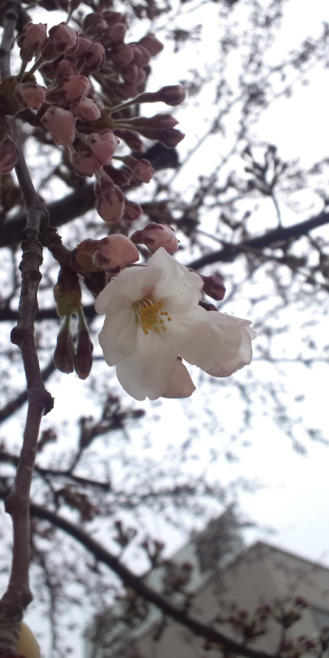サクラ開花!