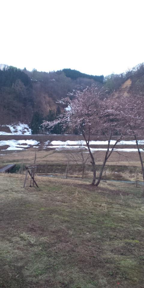 小松川の桜開花