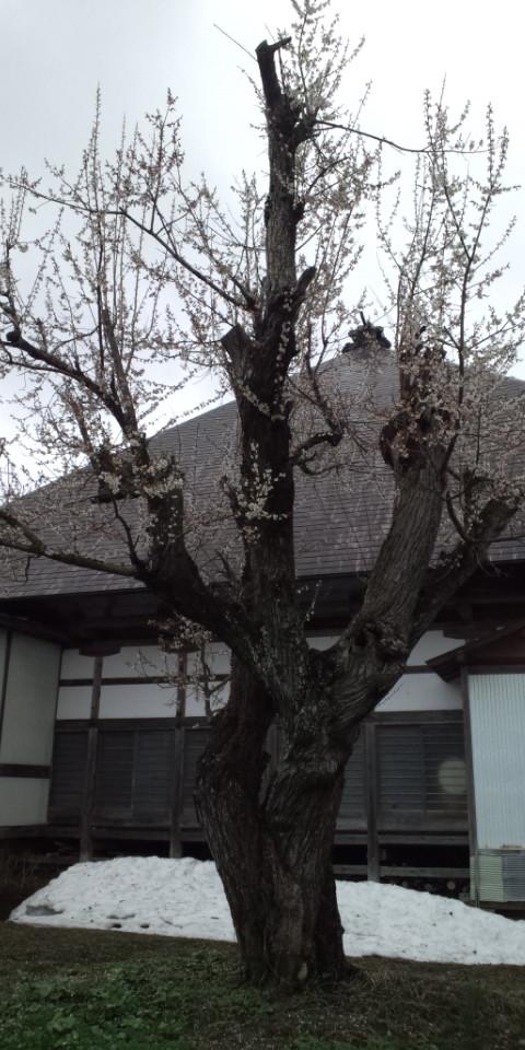 正伝寺の梅