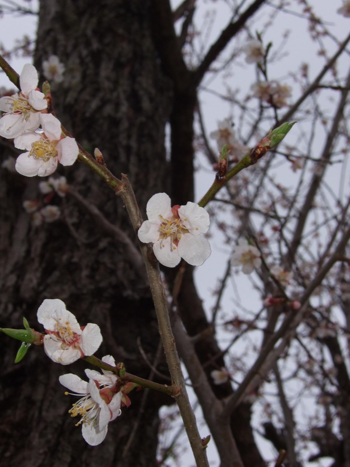 正伝寺の梅花