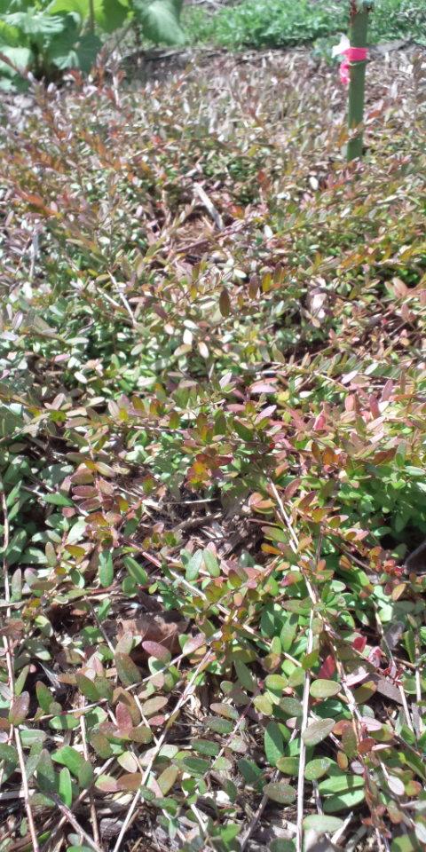 クランベリー穂木採取