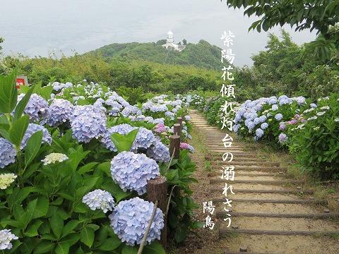 関崎岬の紫陽花