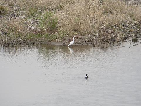 大分川の鷺と鵜