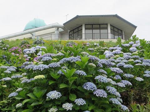天文台の紫陽花
