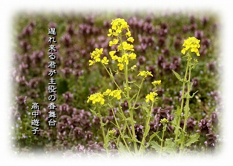 越前の菜の花