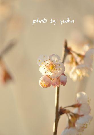 サクランボの花。 315-1