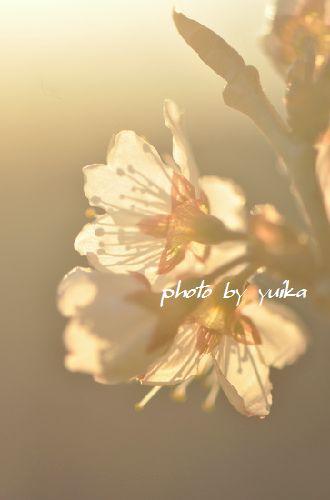 サクランボの花。 315-2