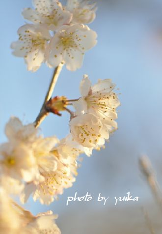 サクランボの花。 315-3