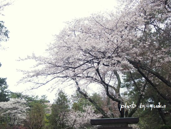 桜330-5