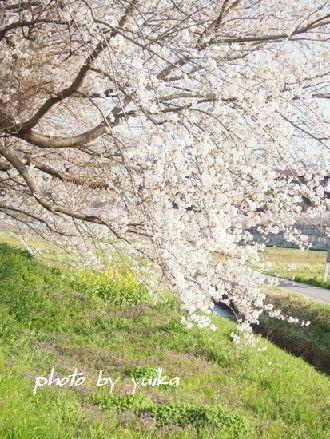 桜401-2