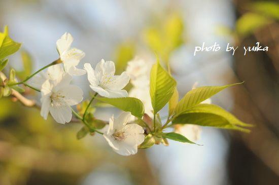 桜401-1