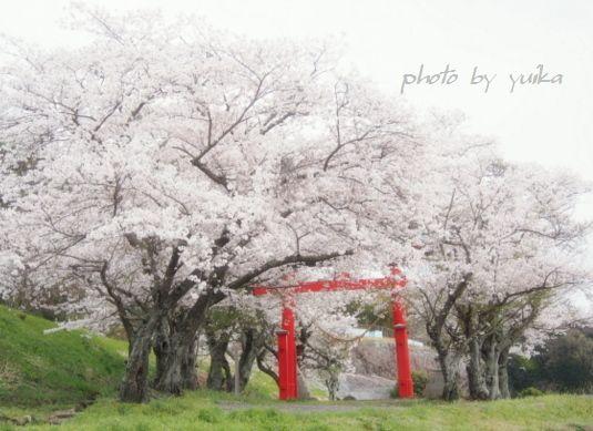 桜403-2
