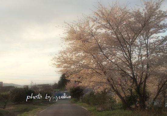 桜407-A