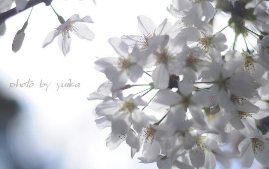 桜407-D