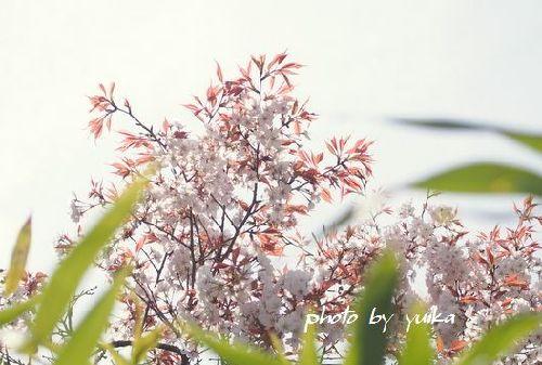 ヤマサクラ413-B