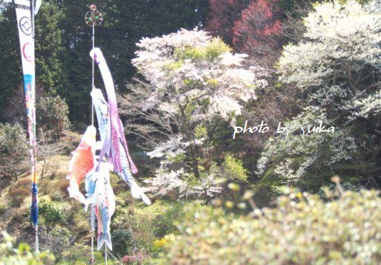 鯉のぼり501-3
