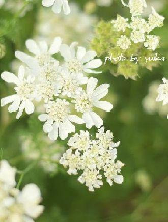庭の花。 524-1