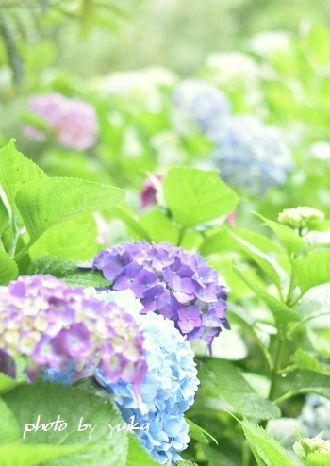 紫陽花622-2
