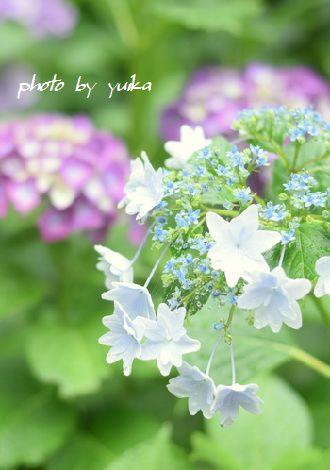 紫陽花622-3