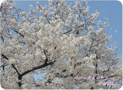 うじゃ桜Ⅰ