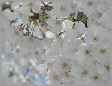 うじゃ桜UP