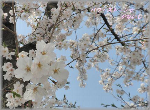 うじゃ桜近くと遠く