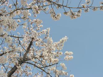 うじゃ桜Ⅳ