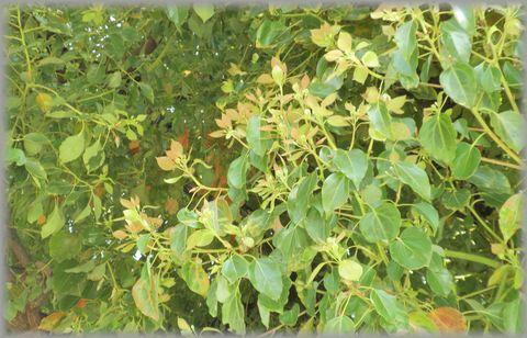くすの葉っぱ