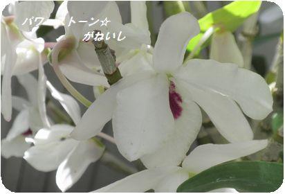 蘭の花のUP