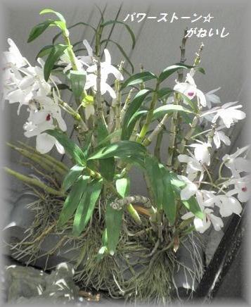 根性蘭の全体像