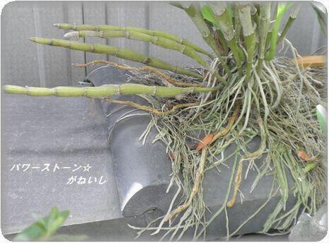 根性蘭の根っこのUP