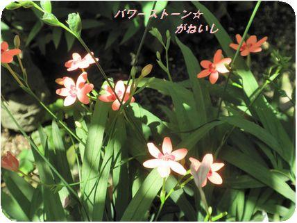 日陰のお花
