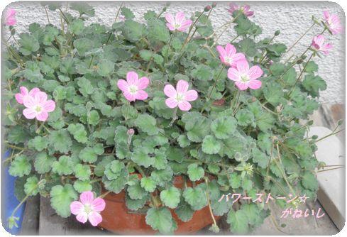 ピンクの花全体