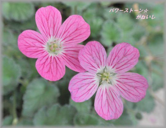 ピンクの花のUP
