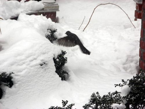 雪降る前のヒヨドリ-1